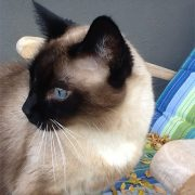 Miranda, Lori's much loved snowshoe Siamese