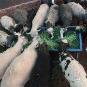 Feeding time at the Bock Farm